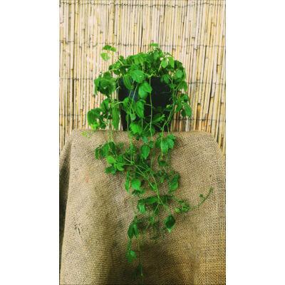 Halhatatlanság növénye (Gynostemma pentaphyllum)