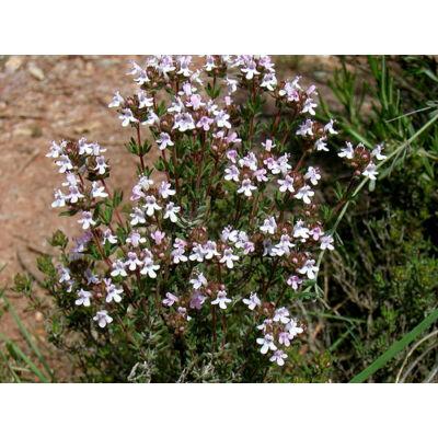 Kerti kakukkfű (Thymus vulgaris)
