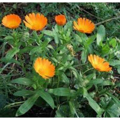 körömvirág virág a fogyáshoz
