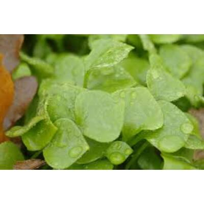 Téli porcsin (Montia perfoliata)