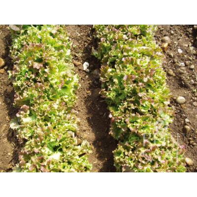 Lattughino riccio Lollo  (Lactuca sativa var. longifolia)