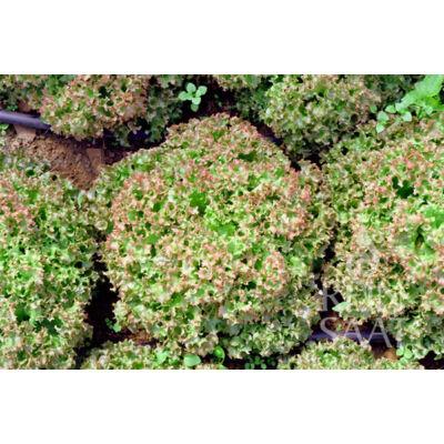 Lollo Rosso (Lactuca sativa L. var. crispa)