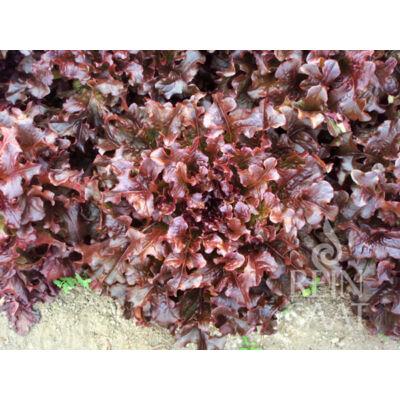 Red Salad Bowl (Lactuca sativa L. var. crispa)