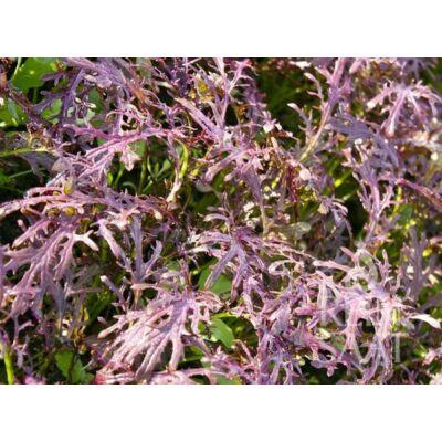 Rouge metis (Brassica juncea)