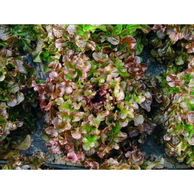 Rubinete (Lactuca sativa L. var. crispa)