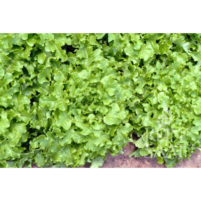 Salad Bowl  (Lactuca sativa L. var. crispa)