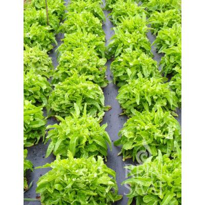 Till (Lactuca sativa L. var. crispa)