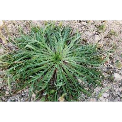 Szarvasagancs útifű (Plantago coronopus)