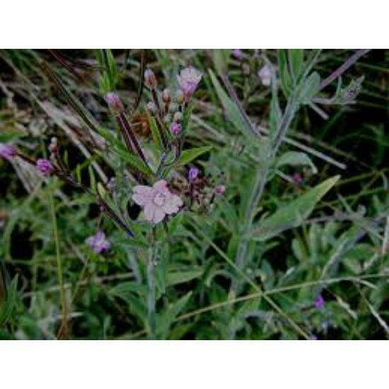 Kisvirágú füzike (Epilobium parviflorum)
