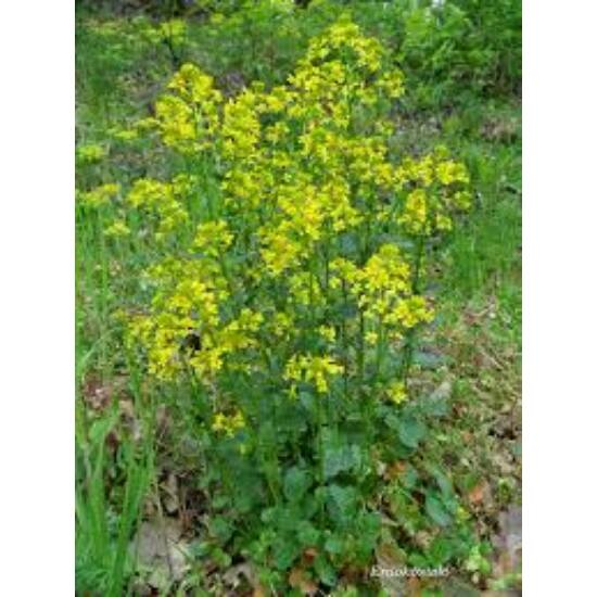 Borbálafű (Barbarea vulgaris)