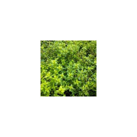 Citromillatú kakukkfű (Thymus citriodorus)