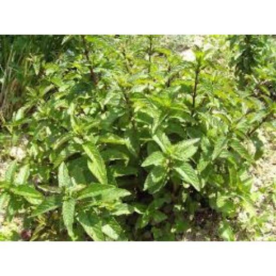 Csokimenta (Mentha x piperita)