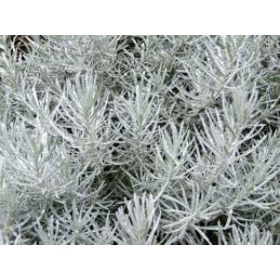 Curryfű (Helichrysum italicum)