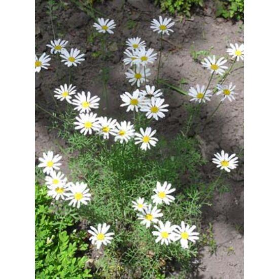Dalmát rovarporvirág (Chrysanthemum cinerariaefolium)