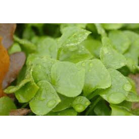 Téli porcsin saláta-10 dkg